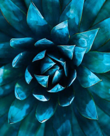 Overhead closeup of a succulent plant with densely packed leaves lit by soft blue light.