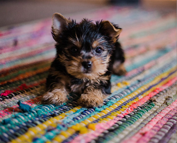 Small Yorkshire terrier puppy laying on colorful woven rug.